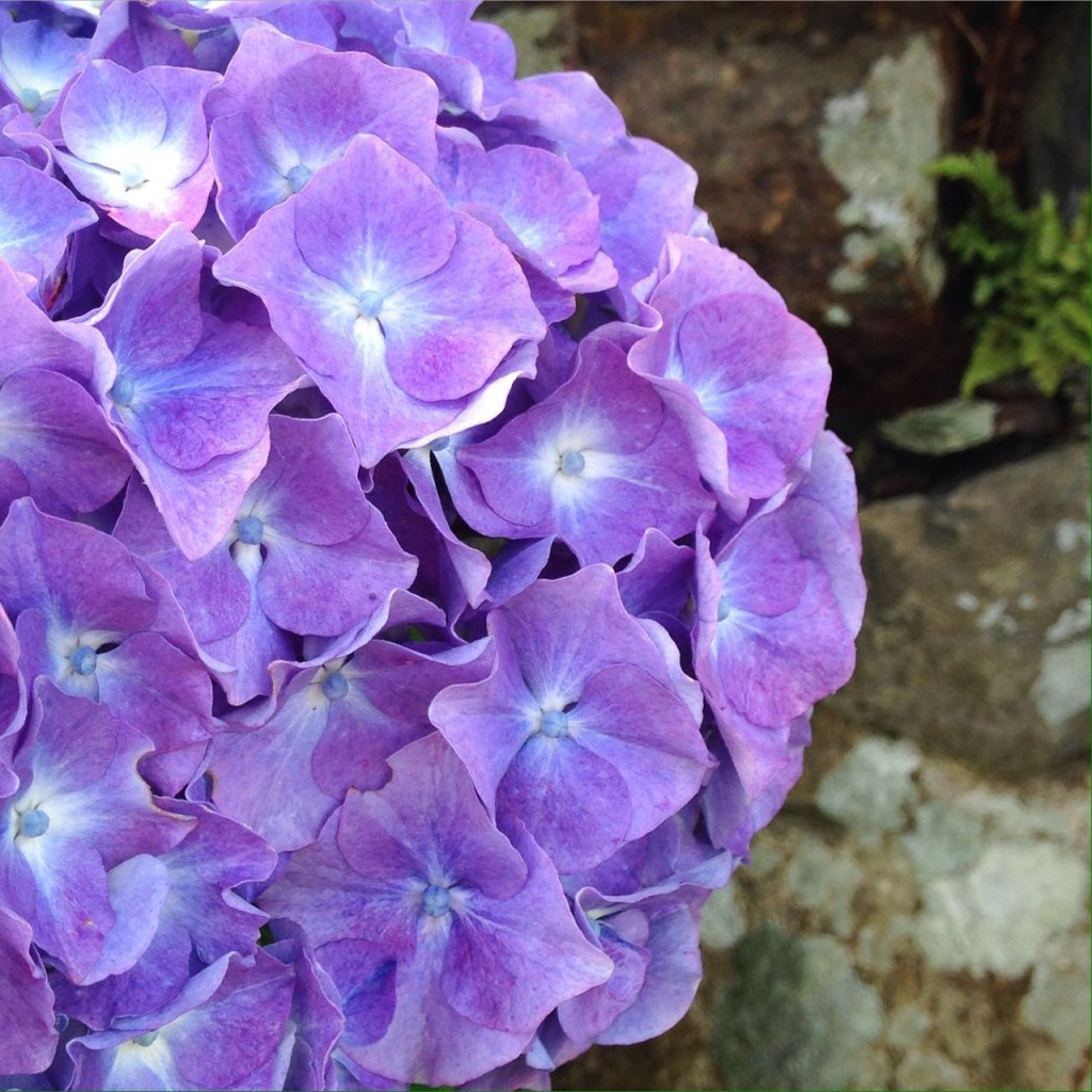 Beautiful hydrangea at our cottage