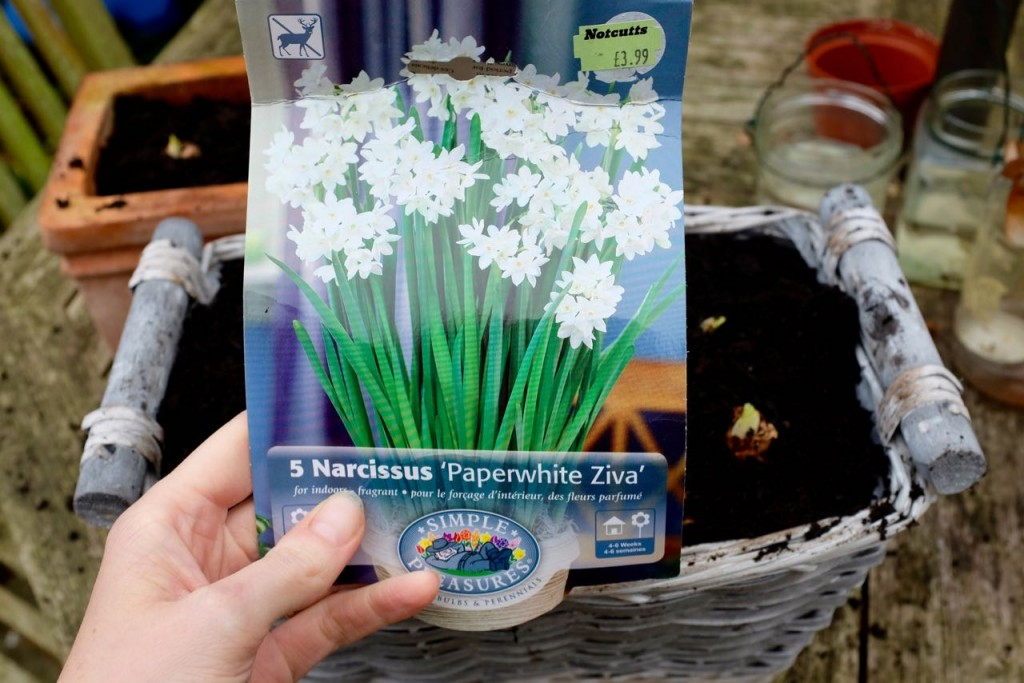 Planting indoor bulbs