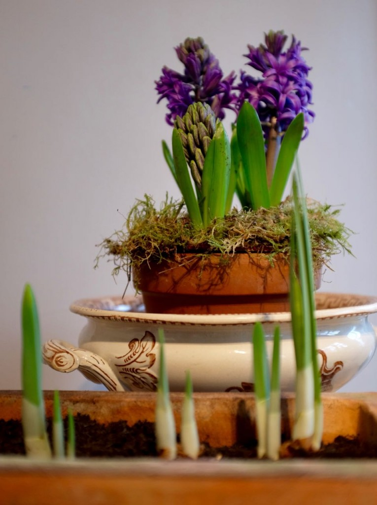 Hyacinth indoor bulbs