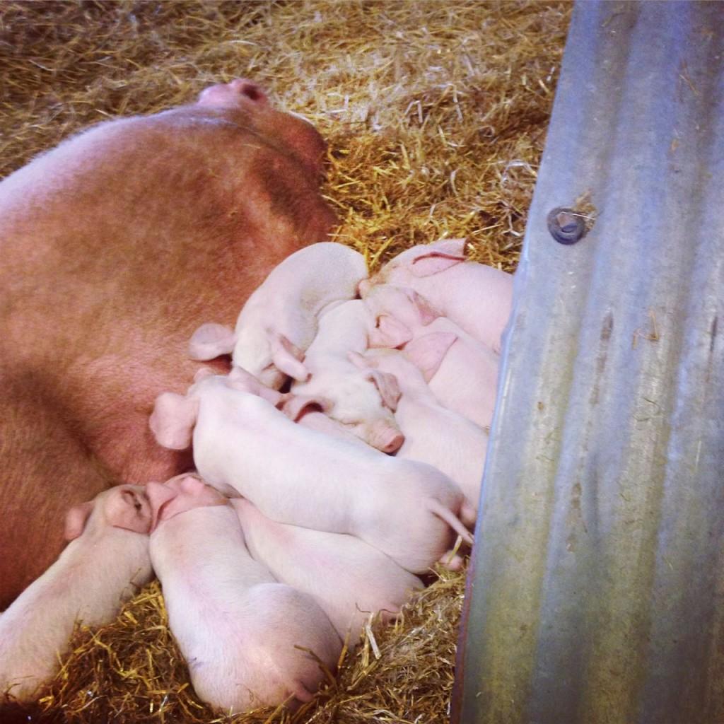 Piglets at Church Farm