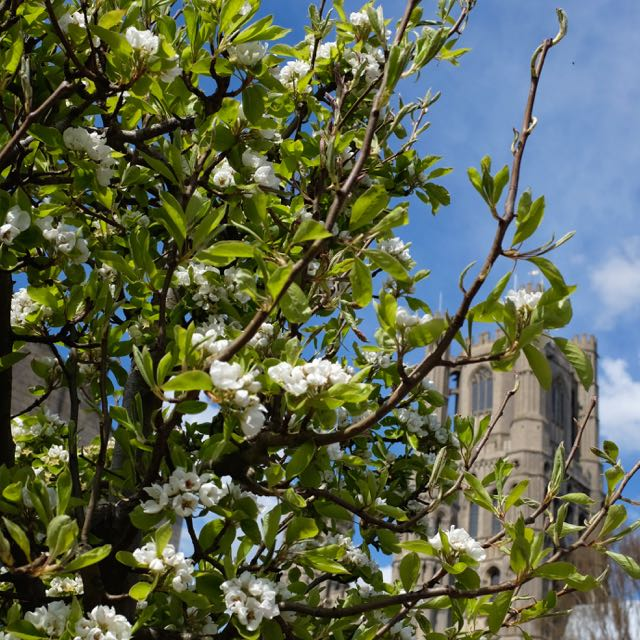 Ely blossom