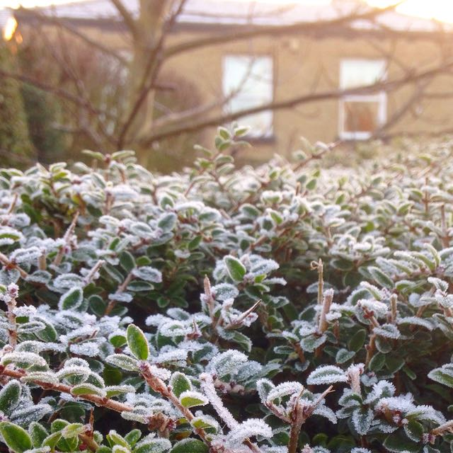 Frosty hedge