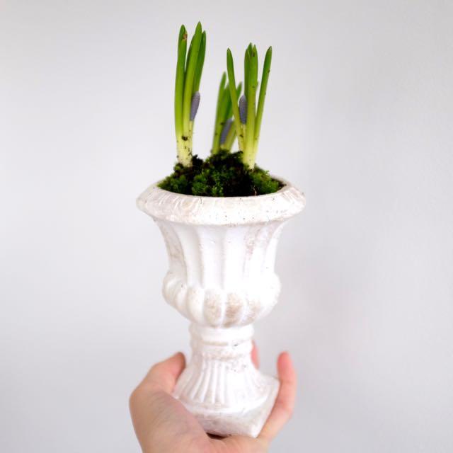 Repotting indoor bulbs