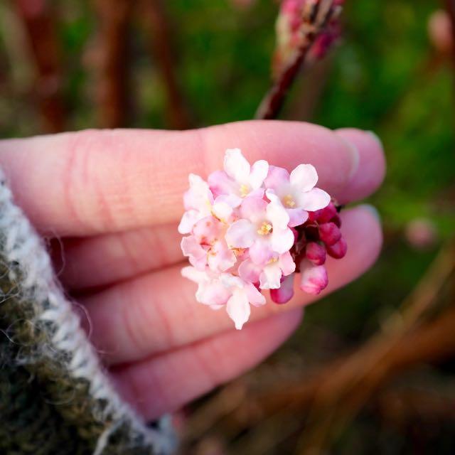 Flowering viburnum