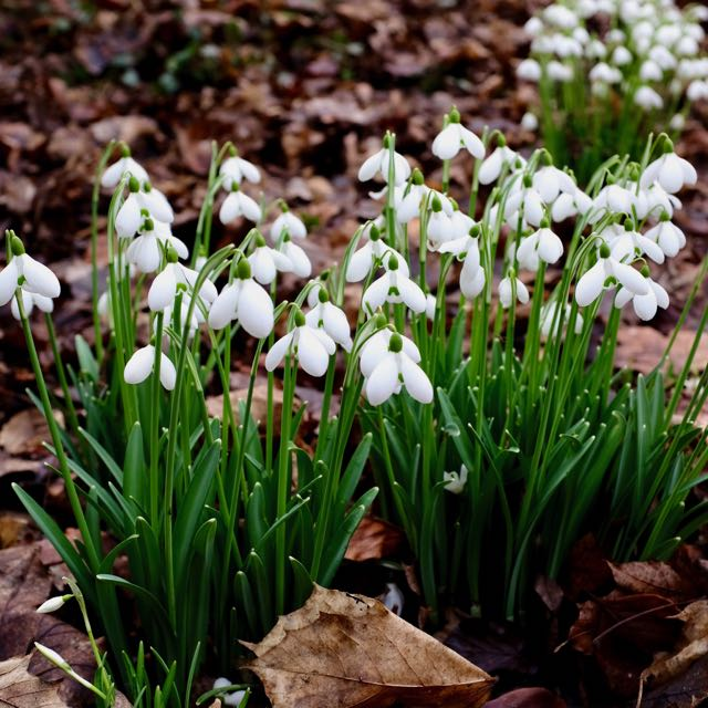 Snow drops at Anglesey Abbey