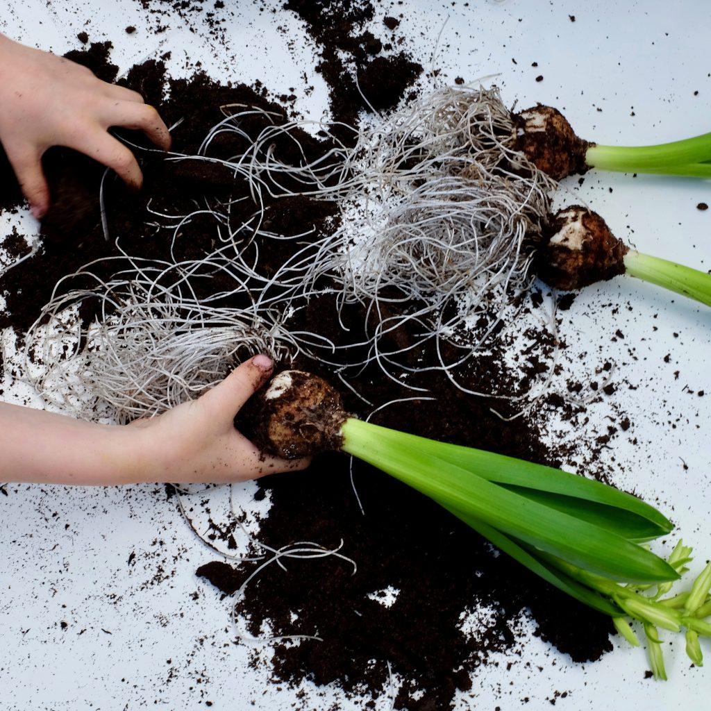 bulb roots
