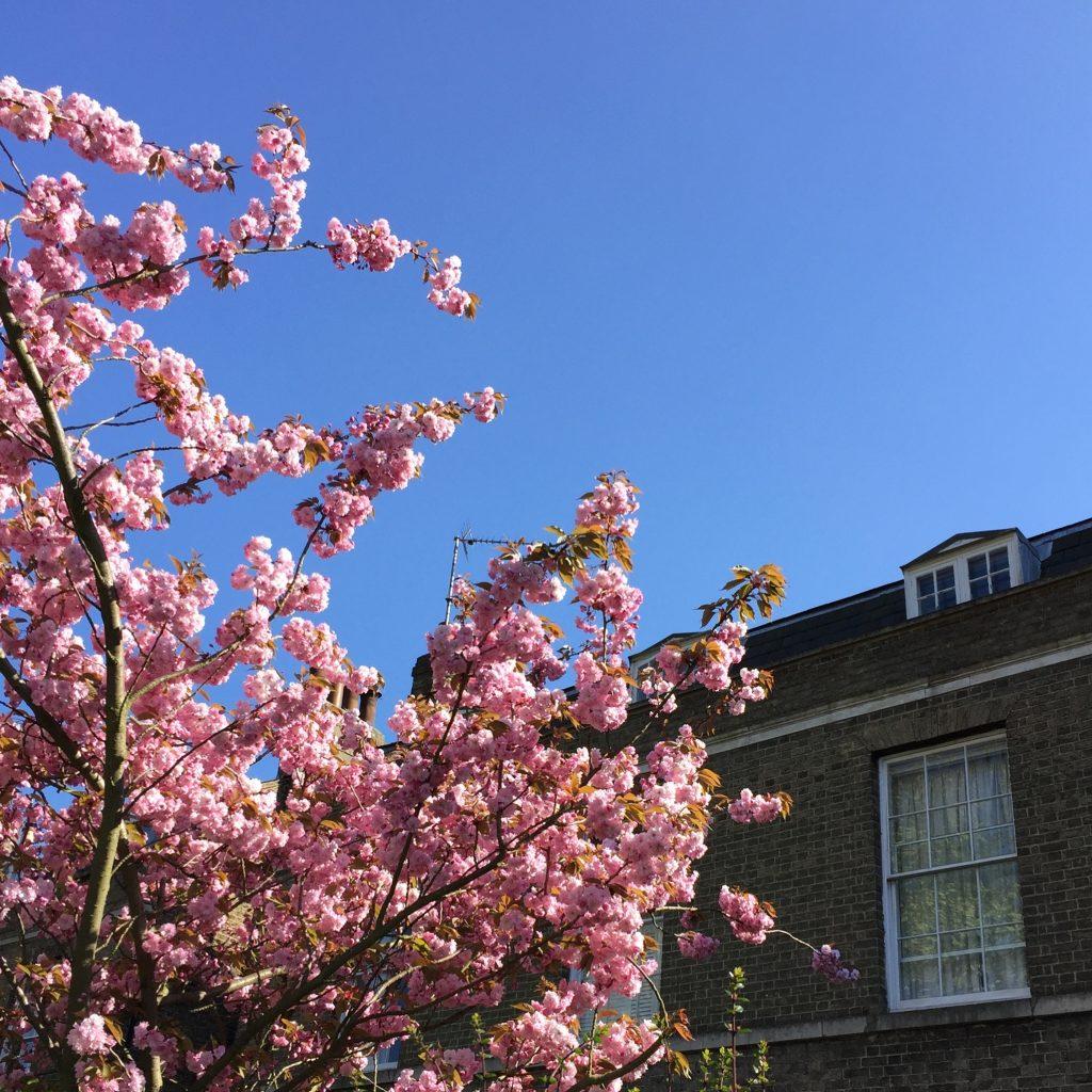 Cambridge cherry blossom