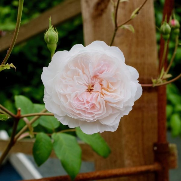 David Austin rose, the Albrighton Rambler