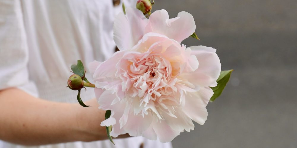 Pale pink peony flower